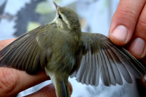 really the Greenish Warbler